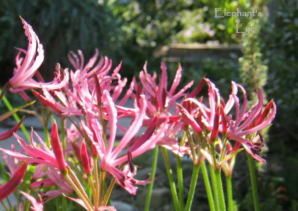 Nerine in May