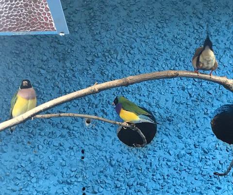 Australian finches at Drayton Manor