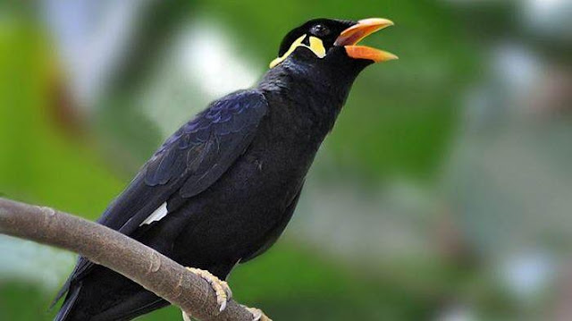 Mengapa Burung Beo Pintar Berbicara?