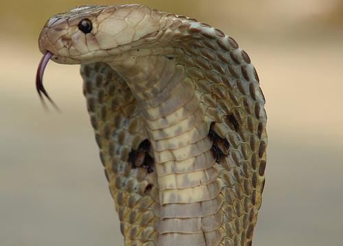 Una cobra sedienta bebe agua de una botella