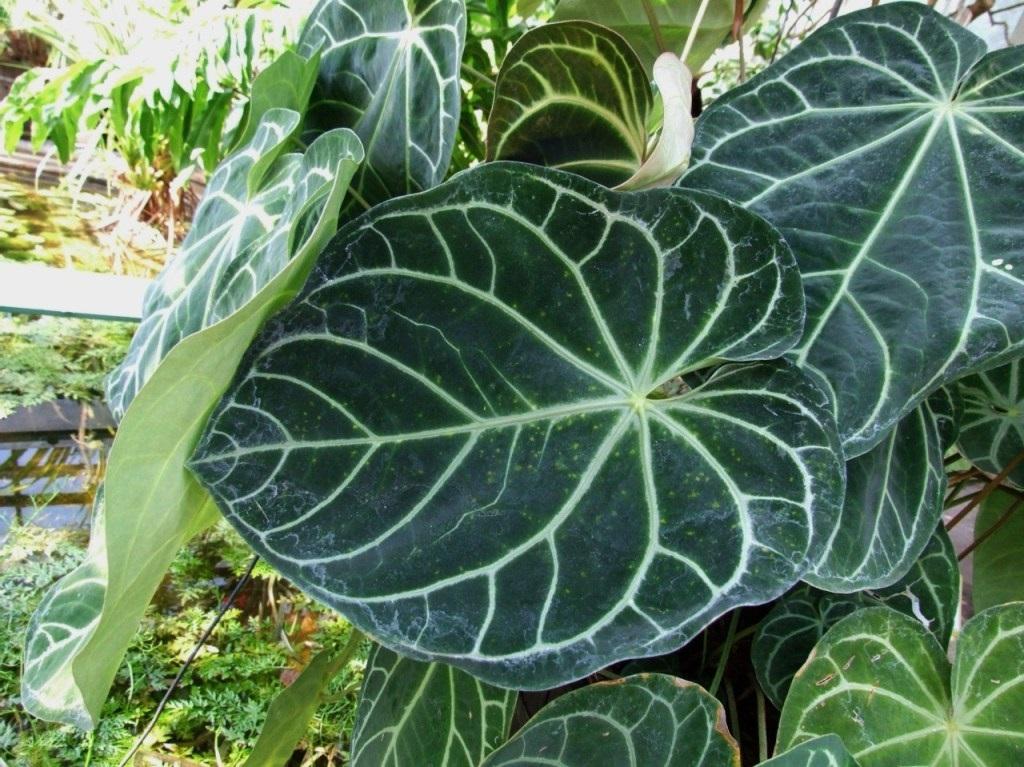 tanaman hias  Kuping gajah