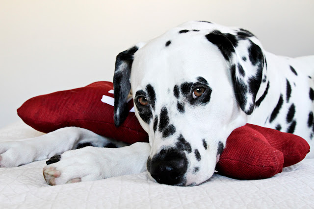 Dalmatian dog cuddling with homemade dog toy shaped like a red bone with the word LOVE