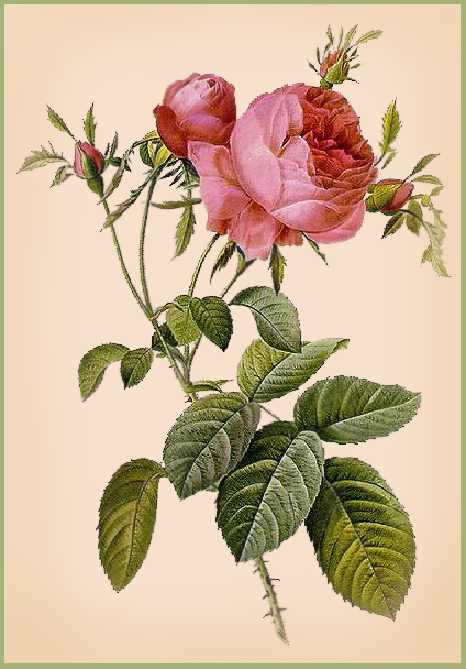 Hoodoo Roots Traditional Spiritual Supplies: The Roses of Love