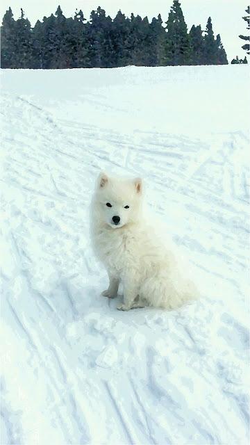 sfondi Android gratis, cagnolino bianco sulla neve