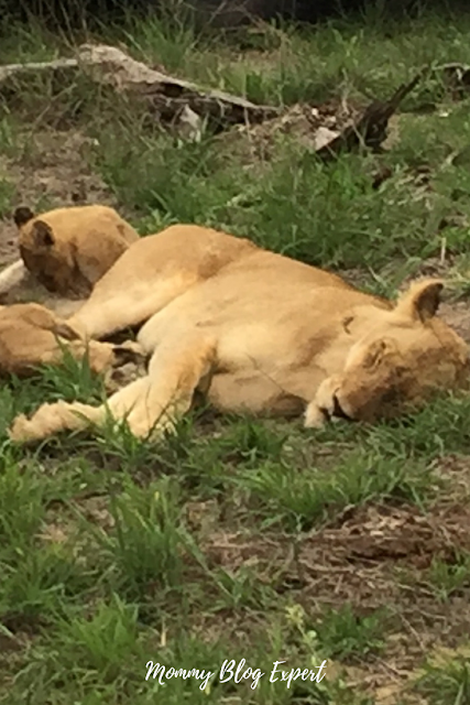 Lioness and Cub in Wild Africa
