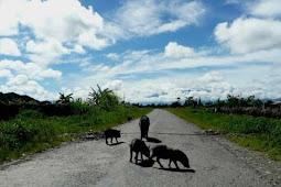Hati-Hati Bawa Kendaraan di Papua, Tabrak Babi Bisa Denda Puluhan Juta