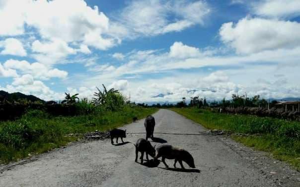 Hati-Hati Jika Berkendara, Tabrak Babi di Papua Bisa Denda Puluhan Juta