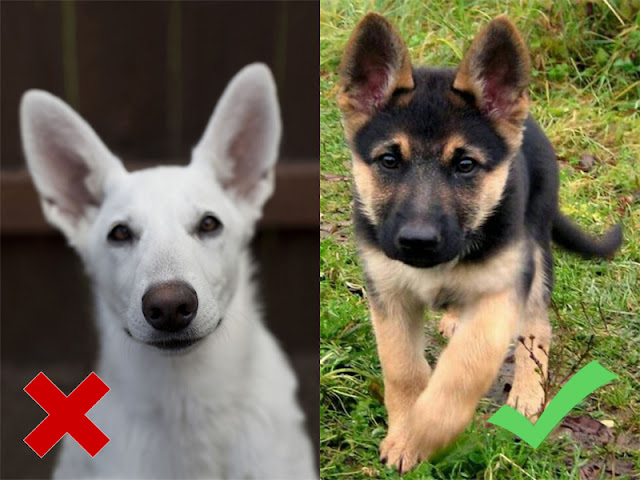 How To Identify The Purity Of The German Shepherd Puppy | 4 Ways To Identify The German Shepherd