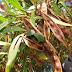 Acacia; a pharmaceutical excipient