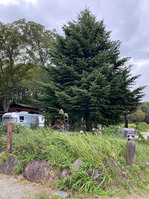 猪苗代湖モビレージ 場内の大きな木