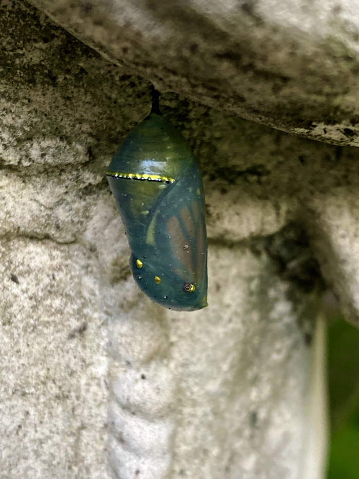 monarch butterfly transparent chrysalis about to emerge