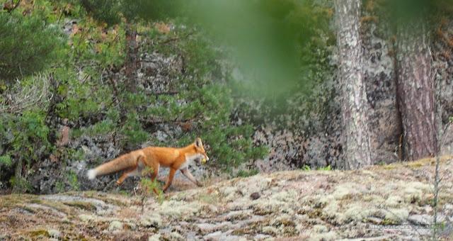 lingonberryhouse, fox, kettu
