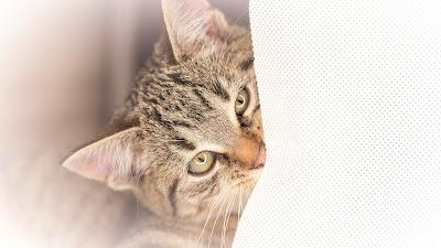 Katzenkitten, Young Cat, Tierporträt, Tonung sapier von Fotograf Michael Schalansky