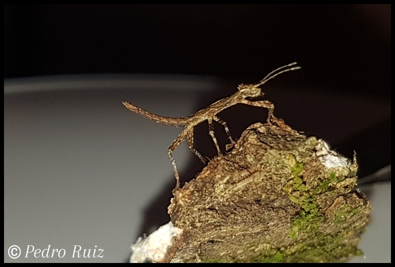 "Ninfa L1 de Hesperophasma sp. ""La Cienaga"", 1,2 cm de longitud"