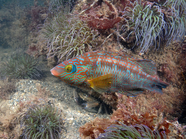 Corkwing Wrasse Photo copyright Paul Naylor/www.marinephoto.co.uk (All Rights Reserved)