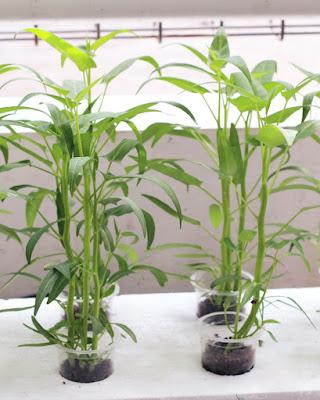 Tanaman kankung yang dapat tumbuh subur