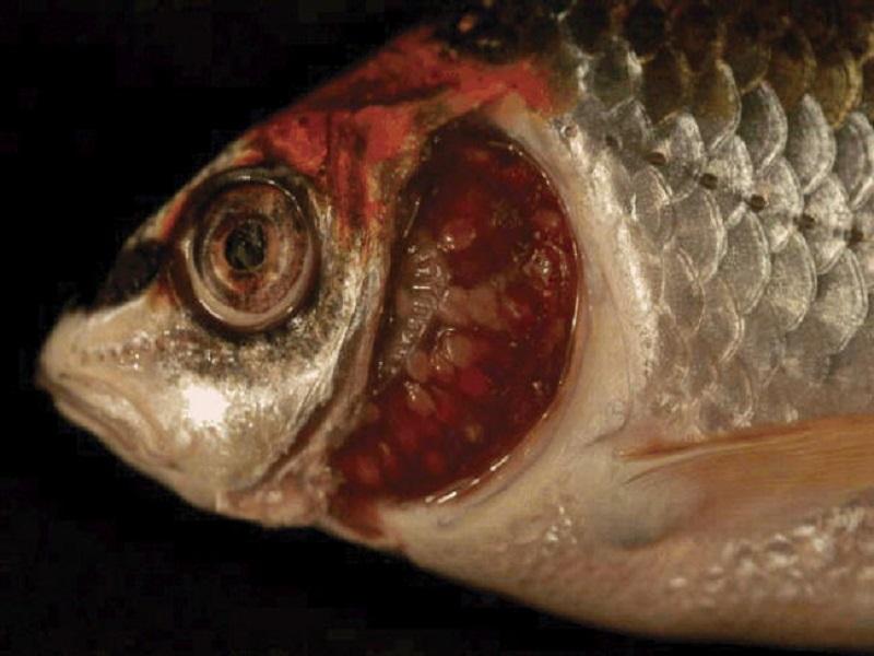 Penyakit Ikan Koi Myxosporearis: Ciri, Obat, & Pencegahan