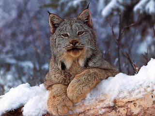 Lynx HD Wallpapers, snow lynx,