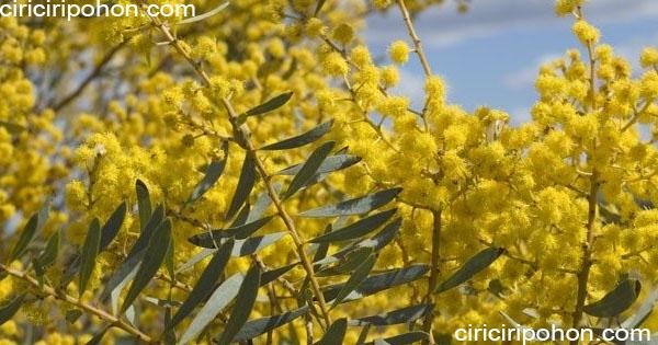 ciri ciri pohon akasia decora