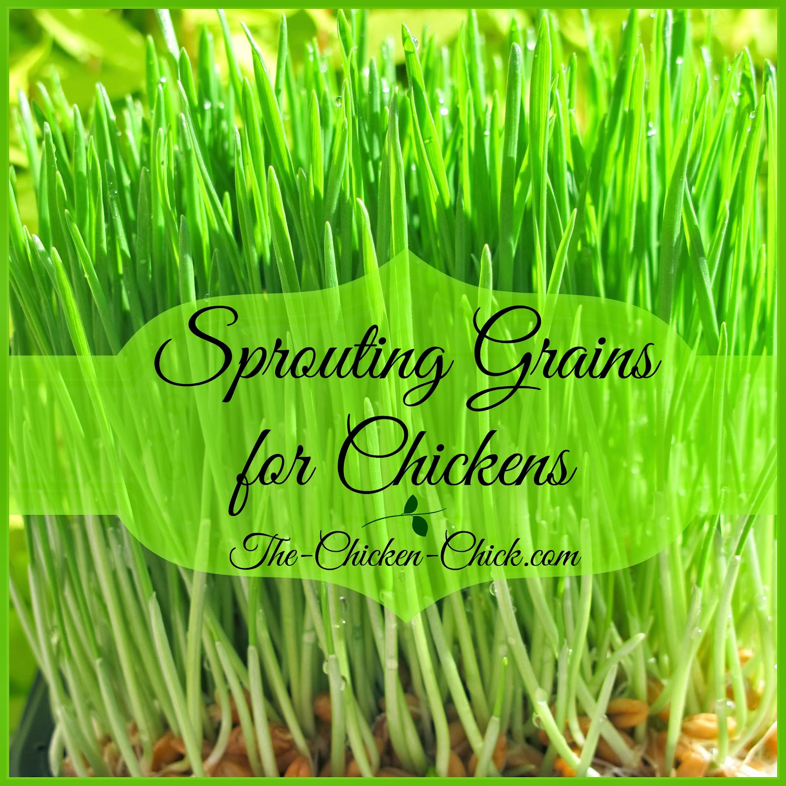 My flock enjoys the many benefits of free-ranging all year long, but in winter, their green, lush, nutritious plant supply is often buried underneath unreasonable amounts of snow, so I decided to experiment with supplementing their diet and their daily entertainment docket with sprouted grains. Sprouts are whole grains or seeds that are grown with water before being fed to the chickens. Sprouting grains is an easy way to provide chickens with fresh, nutritious greens any time of year with very little effort.