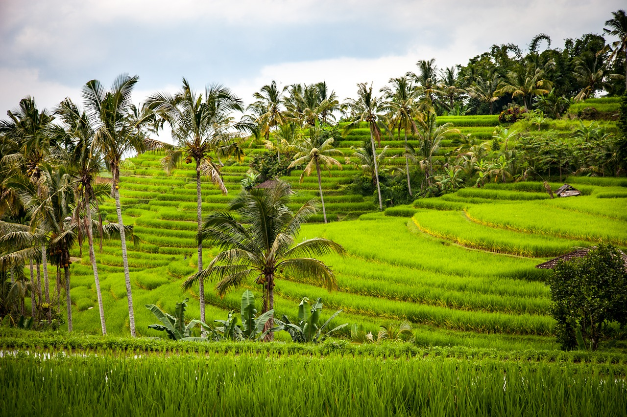 Bali terraced rice paddies