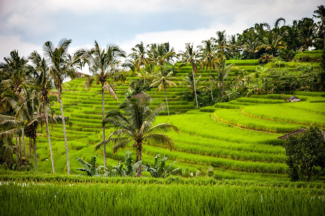 Bali terraced rice paddies