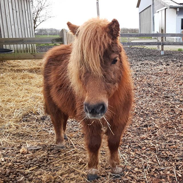 Vom Glück dieser Erde: Urlaub auf dem Küselhof und Reiterhof Witt auf Fehmarn. Die kleinen Shetland-Ponys erobern die Herzen der Kinder.