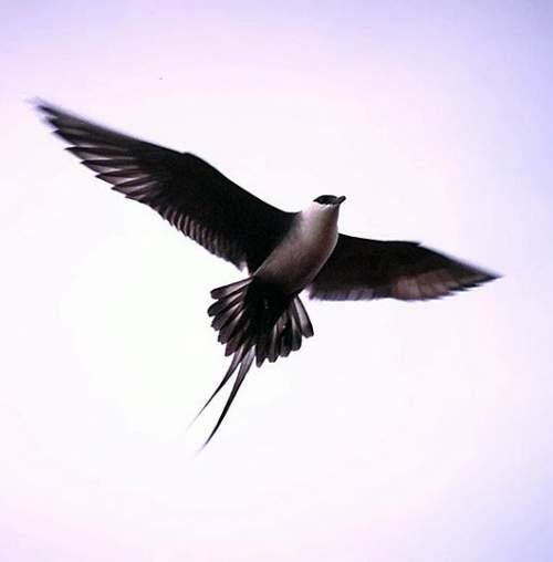 Indian birds - Picture of Long-tailed jaeger - Stercorarius longicaudus