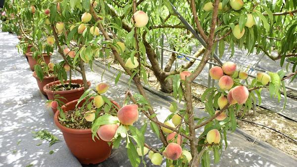 芬園花卉休憩園區「平地水蜜桃果園」 農業產業關懷參訪