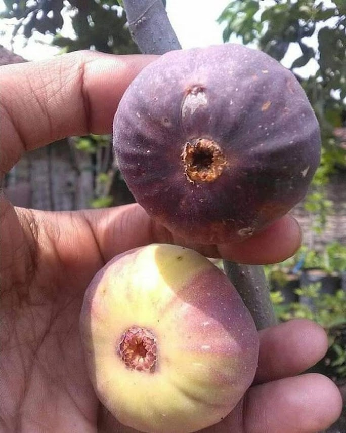 bibit buah tin super jumbo Lhokseumawe