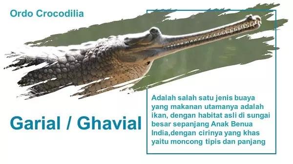 Informasi Lengkap Gavial