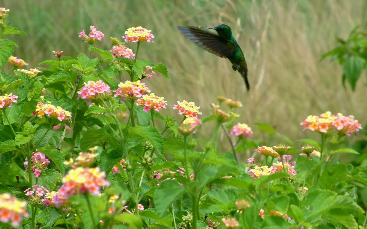 Copper-rumped Hummingbird (Amazilia tobaci) feeding on wild sage