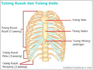 rangka : tulang rusuk dan tulang dada