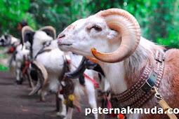 Domba garut domba lokal indonesia