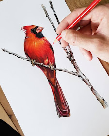11-Northern-Cardinal-Tom-Strutton-Animal-Drawings-www-designstack-co
