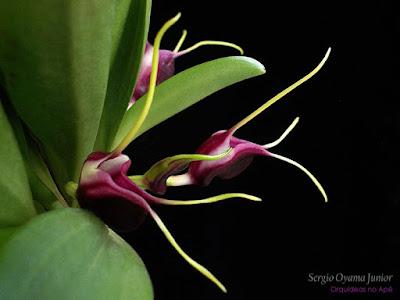 Micro-orquídea Masdevallia discoidea