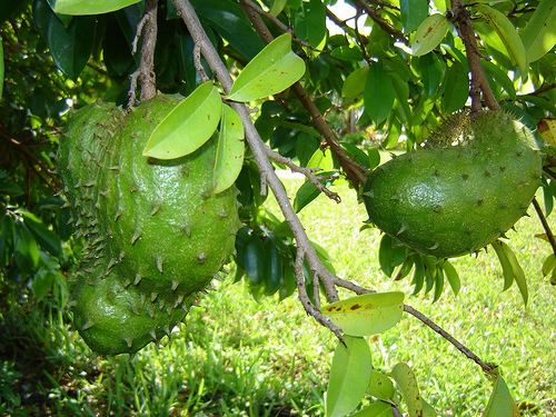 The Soursop Fruit as a Cure for Cancer | Healthy Cancer Chick  |Guyabano Tree