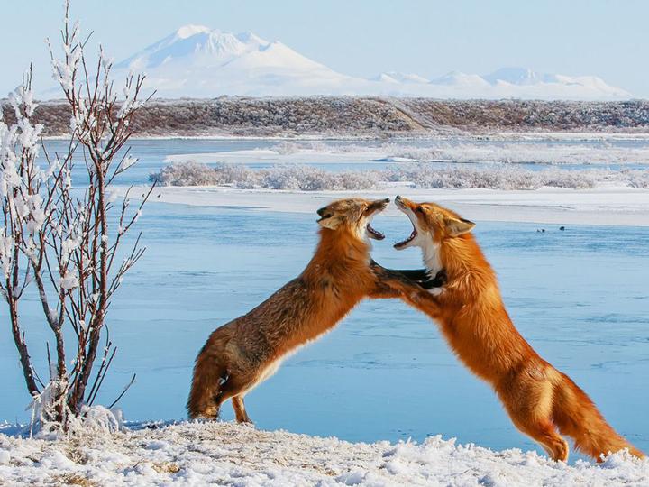 vahşi hayvan resimleri savaşırken fotoğraflanmış.