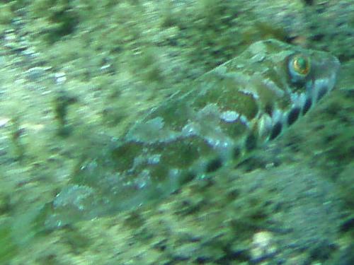 Brauner Kugelfisch - Sphoeroides marmoratus 05