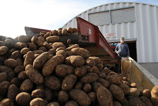 Good year for potatoes