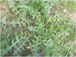 تقرير بالصور(2) عن بعض النباتات التي يزدان بها الجبل وخصوصا وقت الأمطار