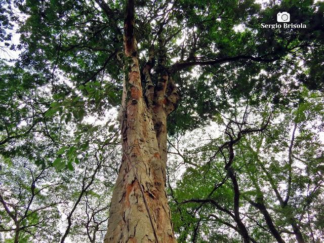Perspectiva inferior de uma árvore Pau-Brasil - Palácio dos Bandeirantes - Morumbi - São Paulo