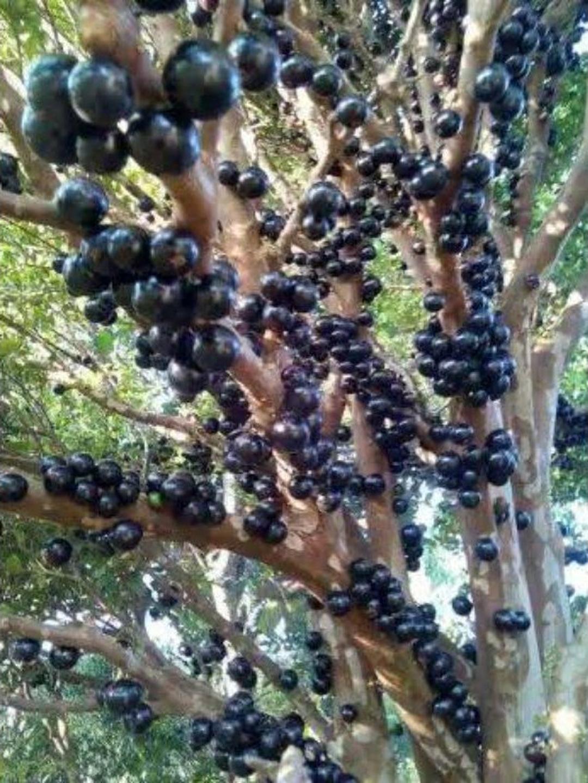 Borong Segera! Bibit tanaman Anggur Brazil BUAH MANIS jaboticaba POHON TABULAMPOT Kota Bandung #bibit buah