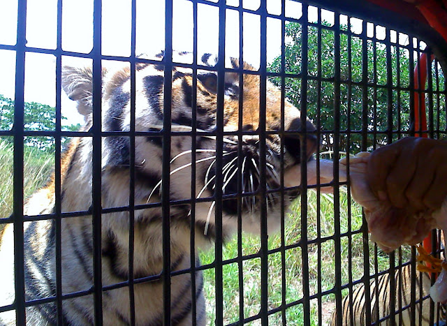 Bengal tiger at Zoobic Safari adventure ride