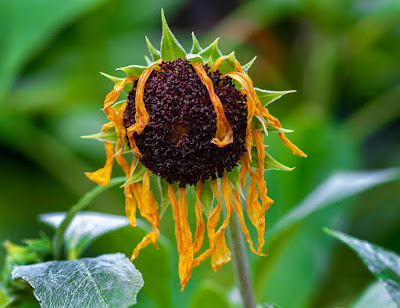 A drooping, dying sunflower - photo by Robert Ullmann