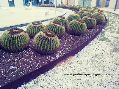 Asiento de Suegra (Echinocactus grussonii)