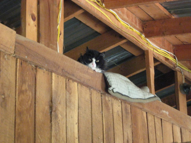 Black and White cat in a barn (www.BarnCatBuddies.org)