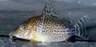 Jenis Ikan Corydoras spectabilis