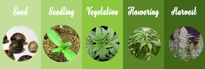 The life stage of a cannabis plant - seed, seedling, vegetative, flowering and harvest.