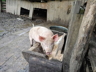Mountain Farm Museum Pig